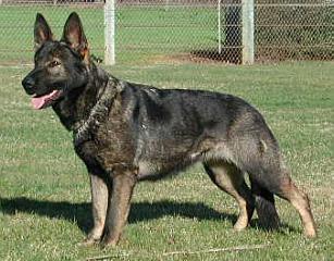 German Shepherd Dogs, True Haus Kennels